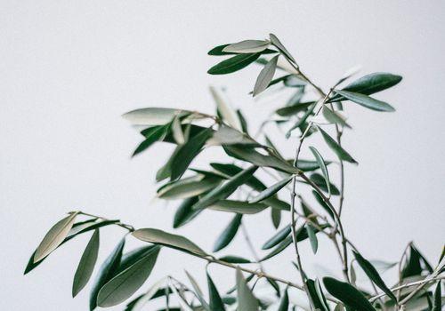 olive leaf branch