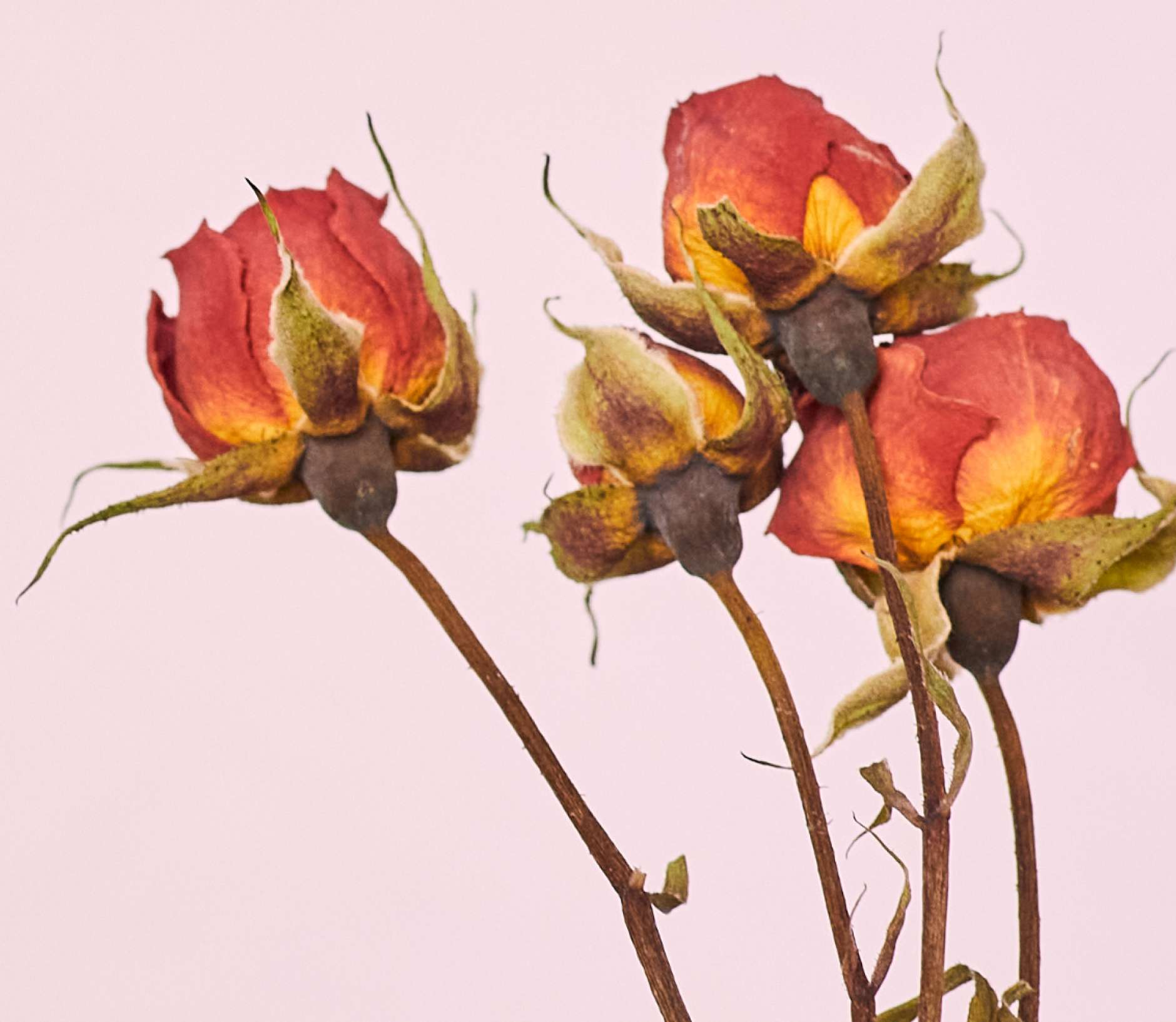 Background Image Dried Roses