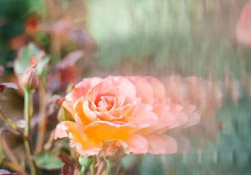 rose nectar for health
