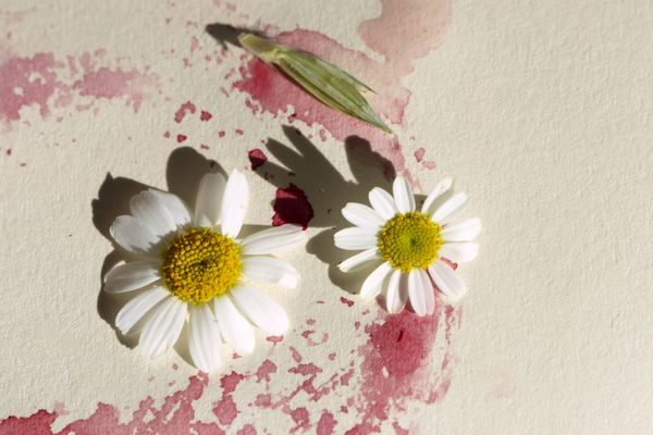 daisy flower and petals in a pink stain on tabletop