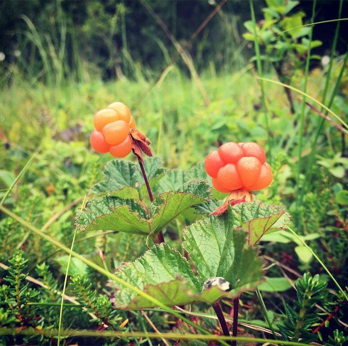 Precious Cloudberry