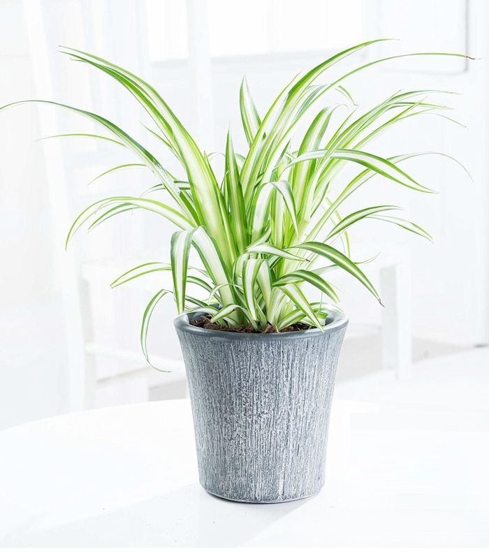 air-purifying plants: Spider plant