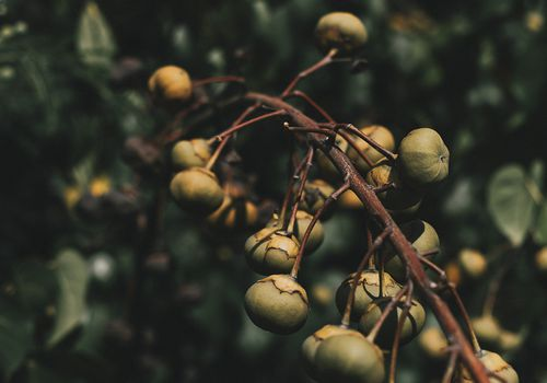 Kukui nuts on a tree