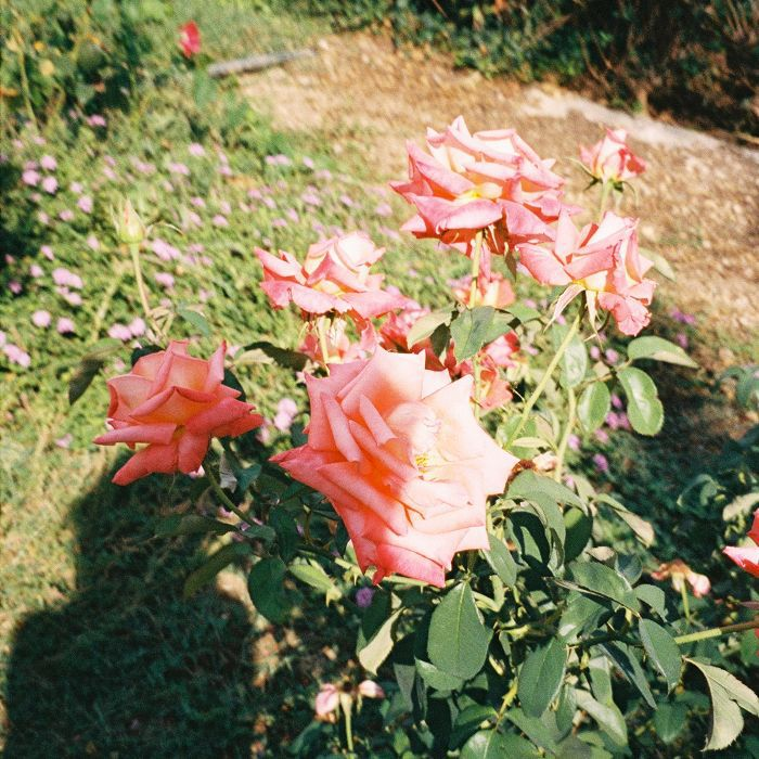 best floral perfumes: Lucy Williams photograph of roses
