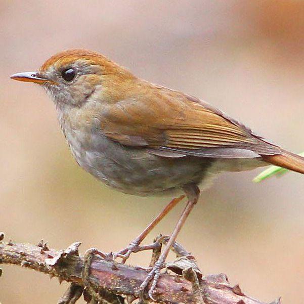 Nightingale on tree branch