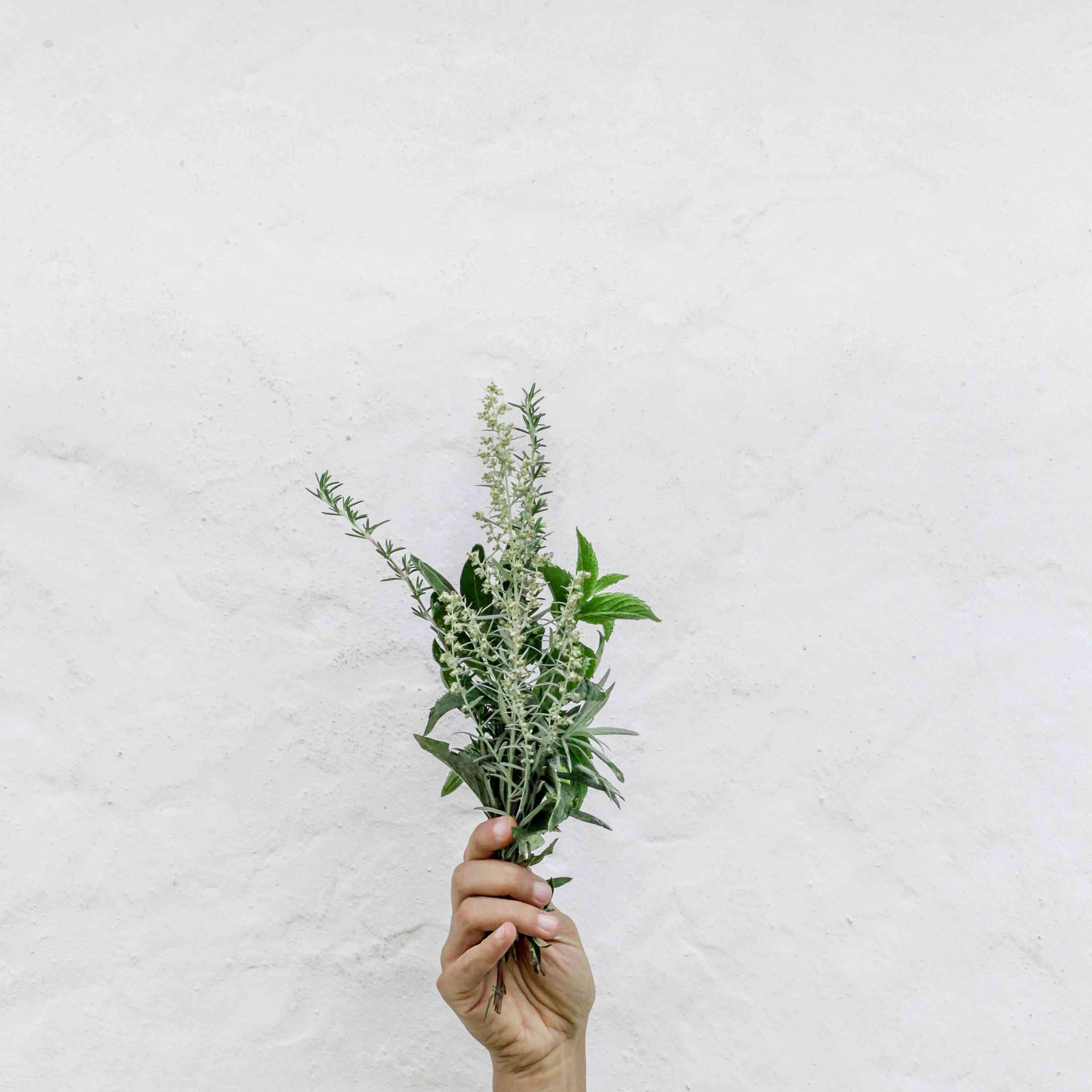 hand holding batch of wild mint