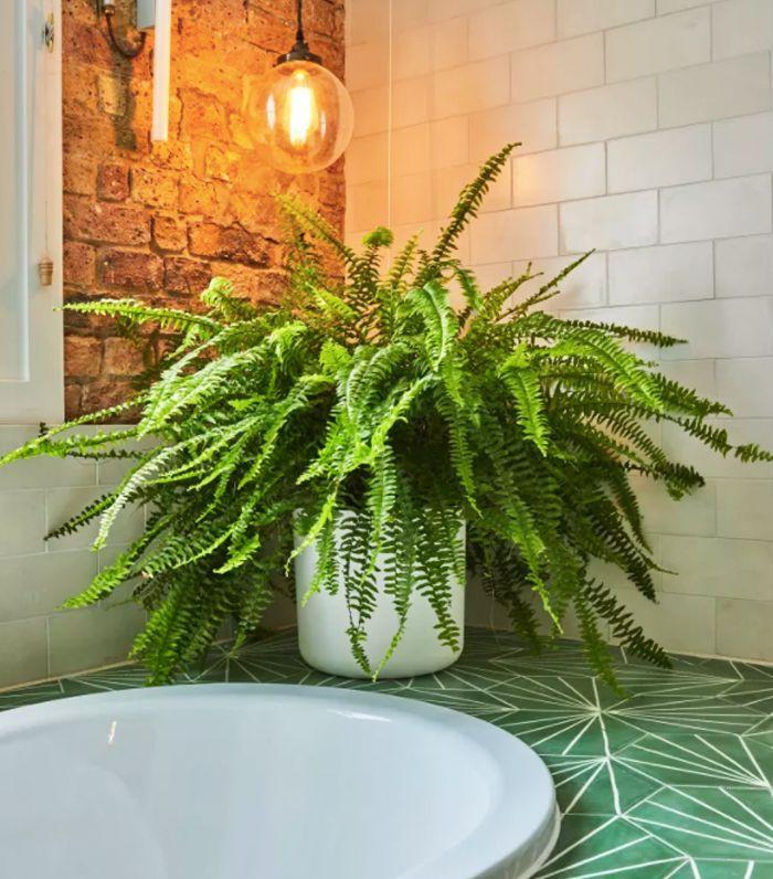 air-purifying plants: Boston fern