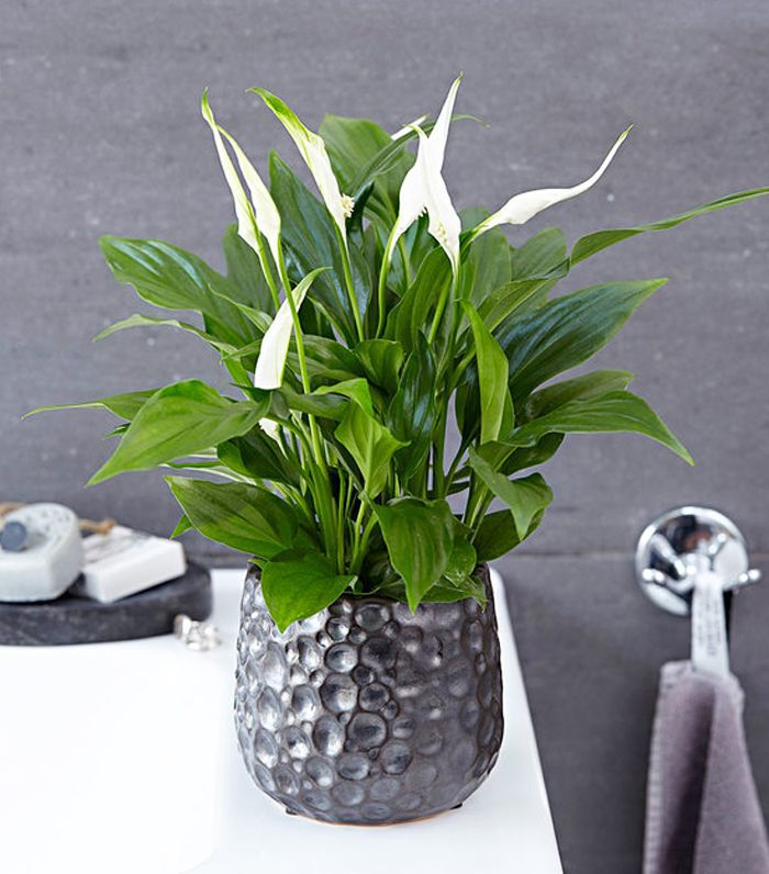 air-purifying plants: Peace Lily