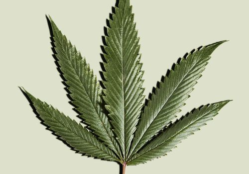 Cannabis leaf over a green background