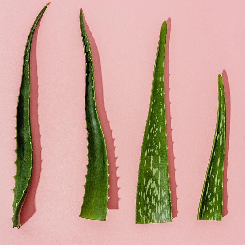 aloe cuttings