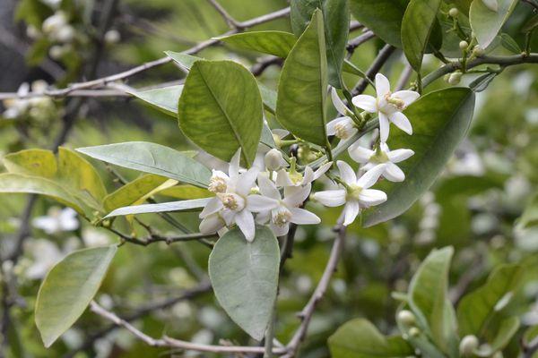 Flowers of bitter orange (Citrus aurantium). Kozan, Adana - Turkey