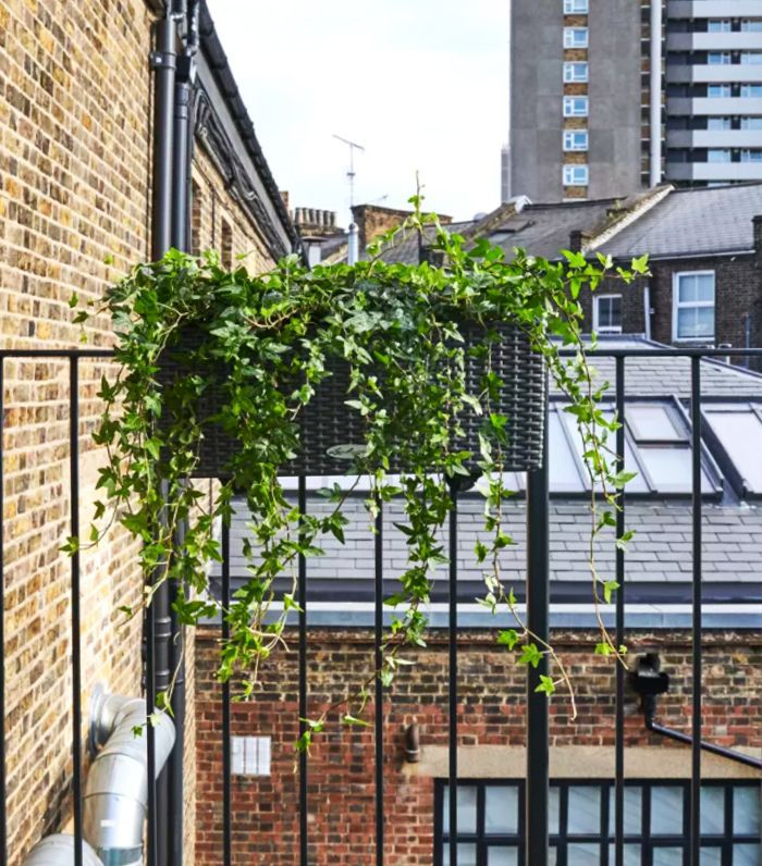 air-purifying plants: Trailing ivy